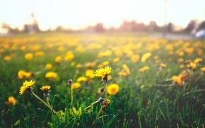 Обои цветы, одуванчики. мать и мачеха, лепестки, трава, желтые
