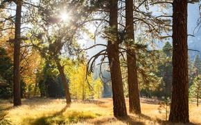 Картинка лес, солнце, лучи, свет, деревья, Калифорния, США, Yosemite National Park