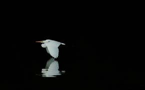 Картинка цапля, белая, отражение, черный фон, птица