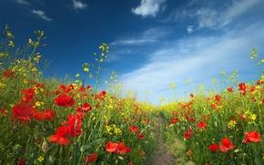 Картинка поле, лето, пейзаж, цветы