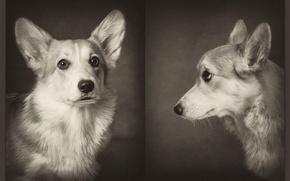 Картинка Dogs, pembrok3, corgi