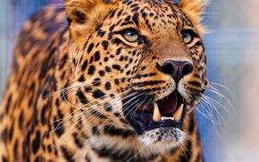 Обои леопард, смотрит вверх, стоит, морда, leopard