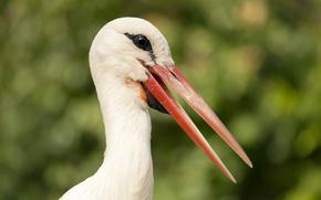Картинка природа, птица, аист