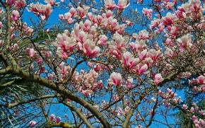 Обои дерево, небо, лепестки, магнолия, весна