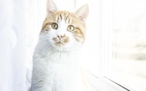 Картинка макс, red, максон максоныч, cat, ginger, рыжий, кот