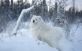 Картинка белый, снег, деревья, фон, собака, Samoyed, Самоед, Самоедская собака
