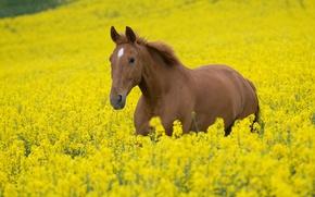 Обои поле, животные, небо, цветы, природа, конь, лошадь, жеребец, кони, растения, лошади