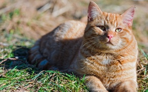 Картинка лето, кот, природа
