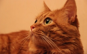 Картинка кот, ушастик, Фося