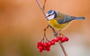 Картинка ягоды, птица, ветка, рябина, лазоревка
