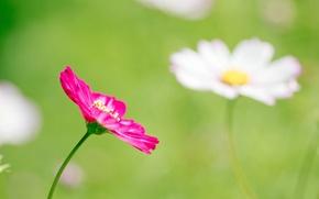 Картинка зелень, цветок, макро, розовый, поляна, весна, лепестки, размытость, космея