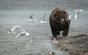 Картинка природа, чайки, медведь