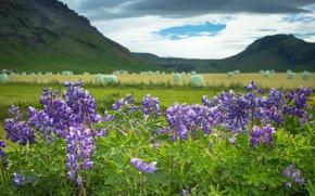 Картинка цветы, горы, Исландия, Iceland, люпины