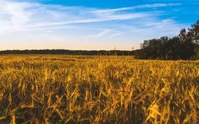 Картинка пшеница, поле, лето, небо, пейзаж, голубое, урожай, хлеб