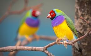 Обои ветка, птичка, разноцветная, Гульдова амадина