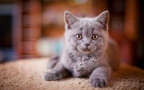Обои Животные, Взгляд, Кошки, Серый, Котята
