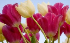 Картинка цветы, розовые, белые, тюльпаны, стебель