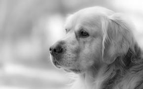 Картинка взгляд, друг, собака, Golden Retriever