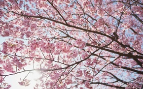 Картинка солнце, ветки, вишня, дерево, весна, сакура
