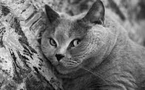 Картинка чёрно-белое, Кот, мордочка, Британский короткошерстный, порода