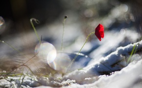Обои красный, снег, лепестки, мак, цветок