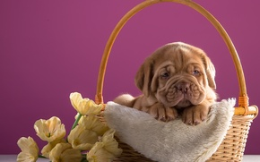 Картинка цветы, корзина, щенок, порода, дог, бордоский