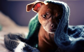 Картинка взгляд, собака, щенок, плед