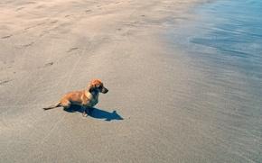 Картинка beach, water, dog, sand, dachshund