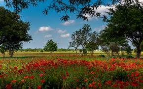 Обои цветы, красные, деревья, Austin, поле, маки, лето, трава, Texas, США