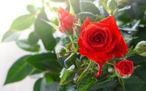 Картинка макро, роза, бутоны, капли