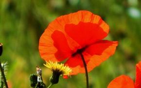 Картинка цветок, красный, весна, Мак, red, spring, poppy
