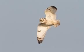 Картинка глаза, полет, сова, крылья, живая природа