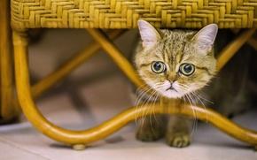 Картинка кошка, Экзотическая короткошёрстная кошка, экзот, взгляд, мордочка, глазища, кот