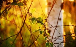 Картинка листья, свет, природа, дерево, ветви, береза, боке