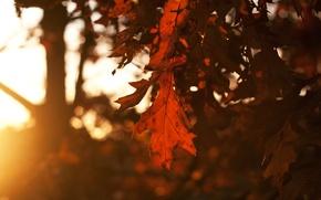Картинка осень, небо, листья, солнце, лучи, деревья, закат, Лист, вечер, leafs, время года, дубовые, свет.