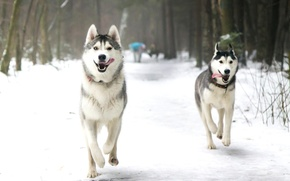 собаки, хаски, лайка, зима, снег, парк, бег, язык обои