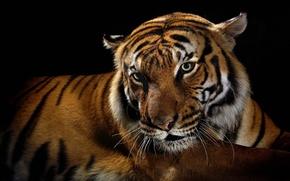 Обои тигр, хищник, дикие кошки, черный фон