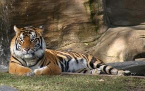 Обои тигры, животные, природа