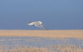 Обои холод, трава, полет, сова, птица, белая, сухая