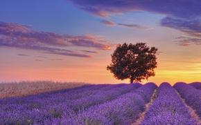 Картинка поле, небо, облака, закат, дерево, Франция, лиловый, field, sunset, France, tree, лаванда, lavender, Валансоль, Valensole, …
