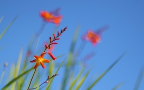 Обои цветы, небо, трава, растение