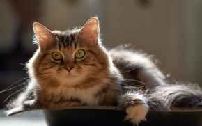 Обои кот, взгляд, кошка