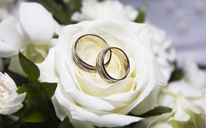 Картинка роза, кольца, белая, свадьба