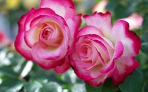 Картинка розы, дуэт, бутоны