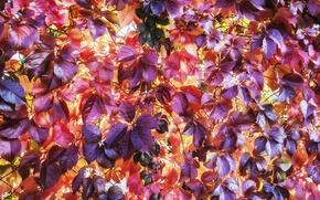 Картинка листья, сетка, растение, рабица, плетущиеся
