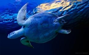 Картинка вода, синий, черепаха
