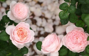 Картинка листья, розы, бутоны