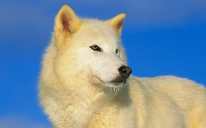Картинка небо, взгляд, хищник, синее, белый волк