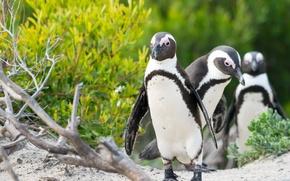 Обои птицы, компания, пингвины