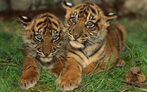 Обои Полосатые, Тигрята, Маленькие